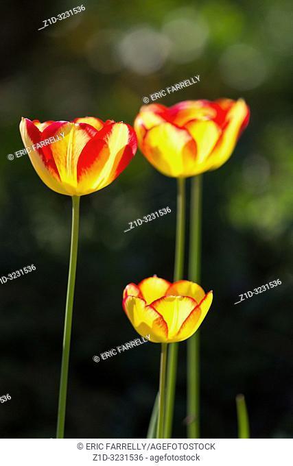 Spring tulips Scotland