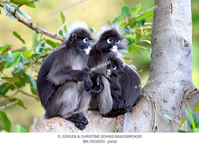 Dusky Leaf Monkeys or Southern Langurs (Trachypithecus obscurus) monkey family on tree, female suckling young, native to Asia, Singapore