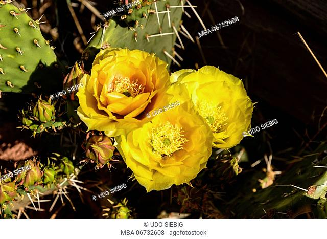 The USA, Utah, Washington county, Springdale, Zion National Park, Virgin River Valley, Parus Trail, Prickly Pear Cactus, prickly pear