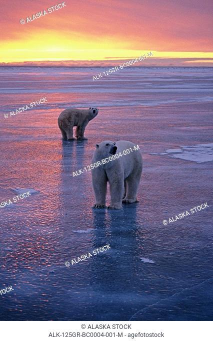 Polar Bears Walking Churchill Manitoba Canada Sunset Beach