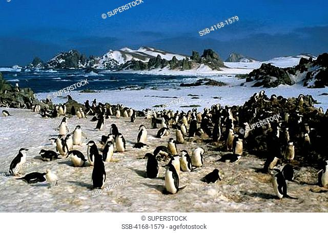 ANTARCTICA, NELSON ISLAND, SOUTH SHETLAND ISLANDS, CHINSTRAP PENGUIN COLONY