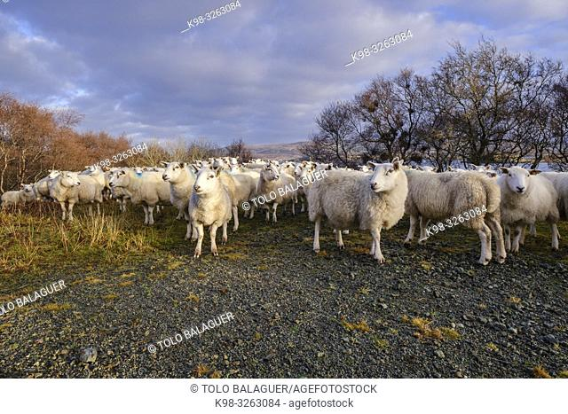 flock of sheep, Skinidin, Loch Erghallan, Isle of Skye, Highlands, Scotland, United Kingdom