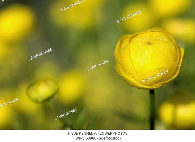 Globeflower, Trollius europaeus, Growing outdoor in bright morning sun