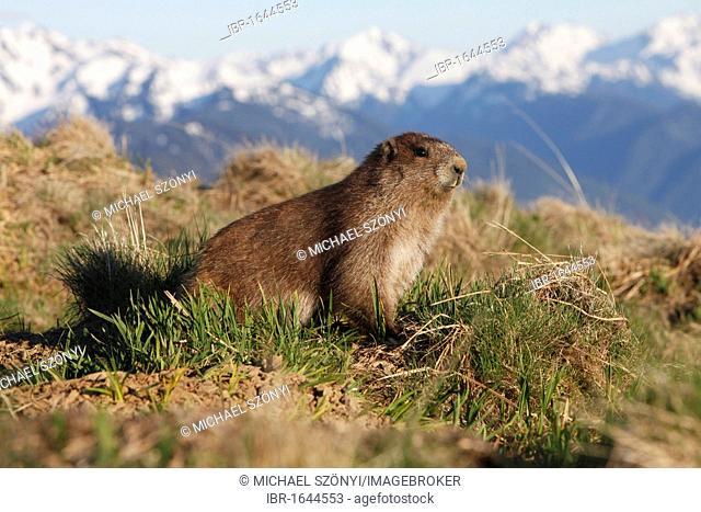 Olympic Marmot (Marmota olympus), endemic to the Olympic Peninsula, Washington, USA