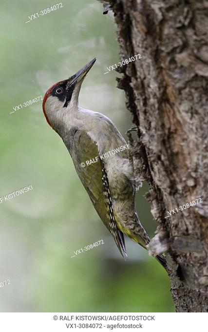 Green Woodpecker ( Picus viridis ), climbing up a tree trunk, typical pose, Europe