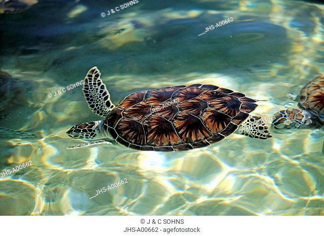 Green Sea Turtle, Chelonia mydas, Cayman Islands, Grand Cayman, Caribbean, adult swimming in water breathing