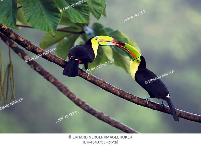 Keel-billed Toucan (Ramphastus sulfuratos) in a tree, Heredia Province, Costa Rica