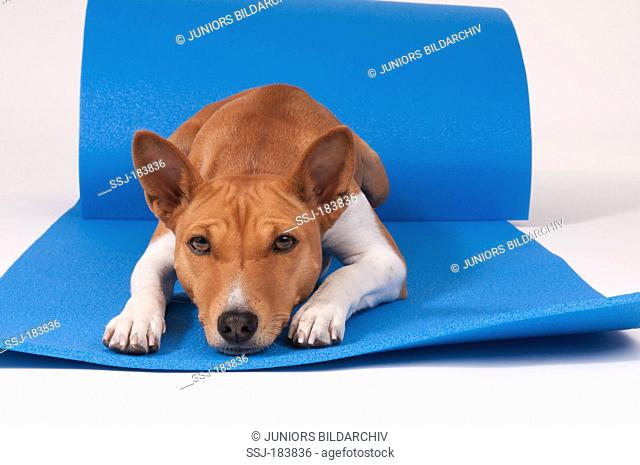Basenji. Bitch (3 years old) lying on blue gymnastics mat. Studio picture against a white background
