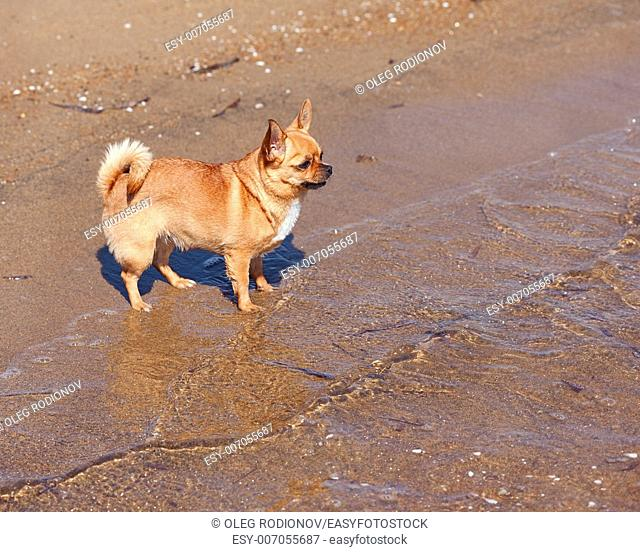 Red Chihuahua Dog on Nature Background. Sand and Sea