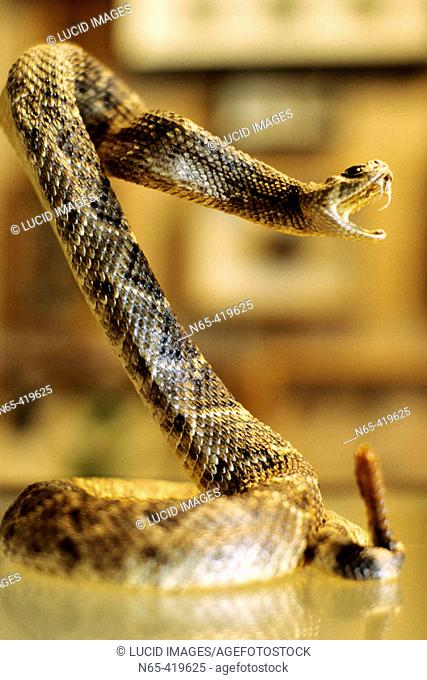 Stuffed rattlesnake posed in striking mode