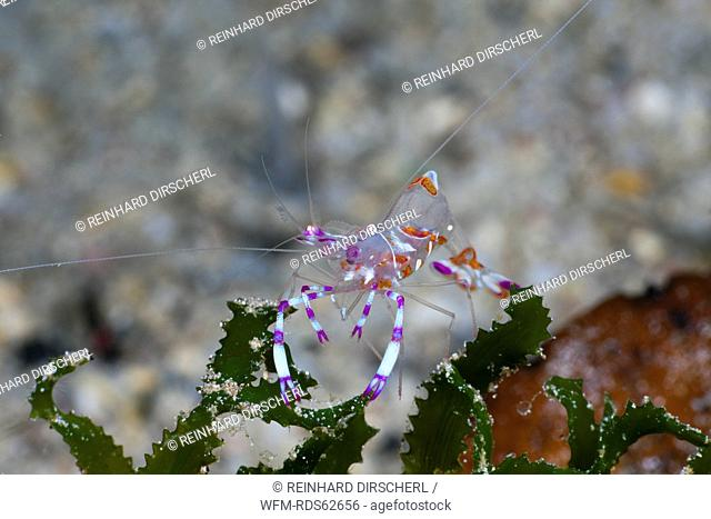 Closeup of Commensal Shrimp, Periclimenes cf. venustus, Cenderawasih Bay, West Papua, Indonesia