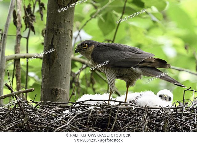 Eurasian Sparrowhawk ( Accipiter nisus ), adult male, perched on the edge of its nest, shy, secretive, watching around attentively, wildlife, Europe