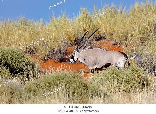 Oryx-Antilope im Wolwedans, NamibRand Nature Reserve
