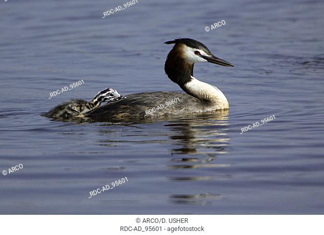 Great Crested Grebe with chick on back Netherlands Podiceps cristatus