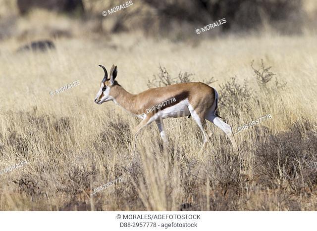 South Africa, Upper Karoo. Springbok (Antidorcas marsupialis)