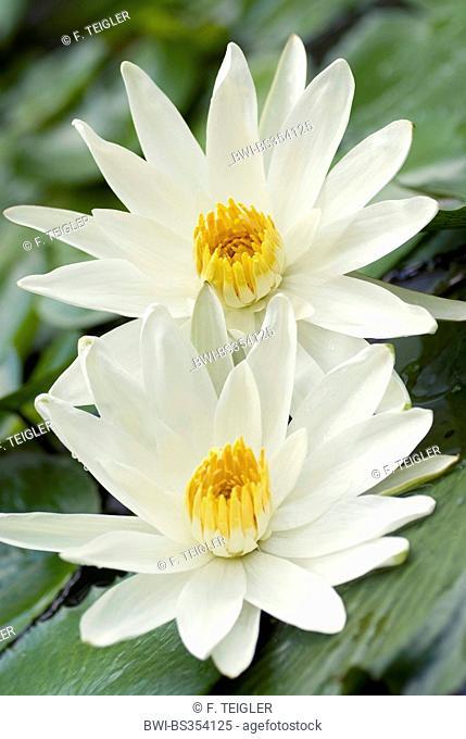 Egyptian water lily, white egyptian lotus (Nymphaea lotus), two flowers