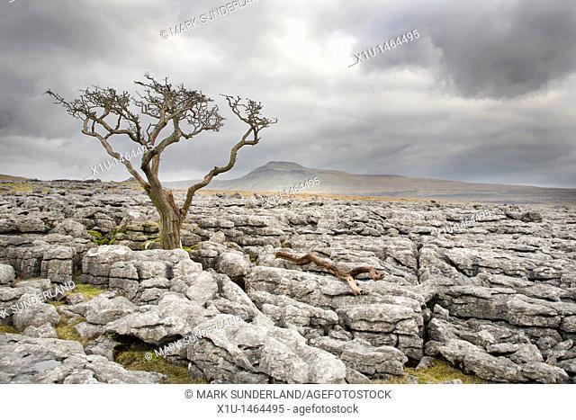 Lone Tree and Ingleborough from Twistleton Scar Yorkshire England
