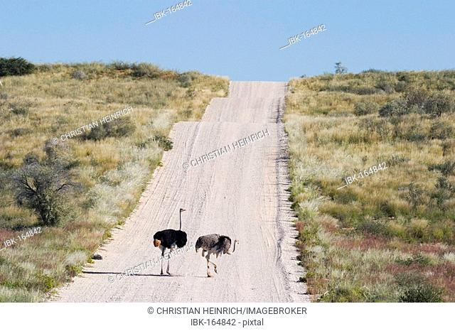 Two ostrich on gravelroad Kgalagadi Transfrontier Park, Kalahari Gemsbok Park, Botswana and South Africa