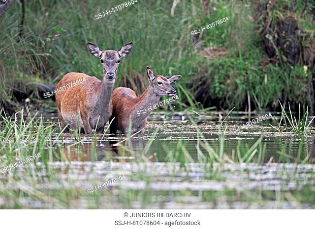 Red Deer (Cervus elaphus). Hind and calf standing in a shallow pond. Germany