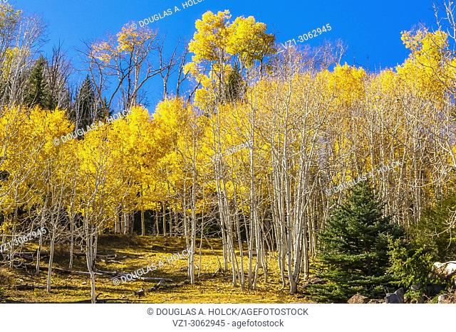 A grove golden aspen color a mountainside close to Torrey, Utah
