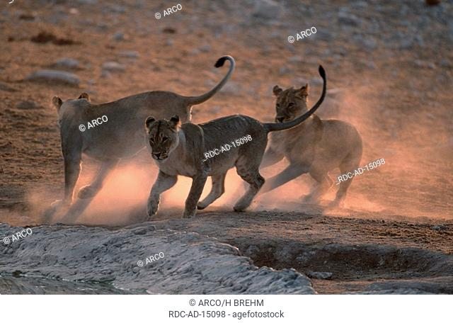 African Lions female with youngs Etosha national park Namibia Panther leo