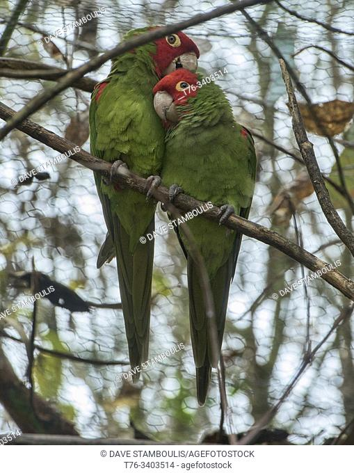 A pair of red-masked parakeets (Psittacara erythrogenys), Amaru Biopark, Cuenca, Ecuador