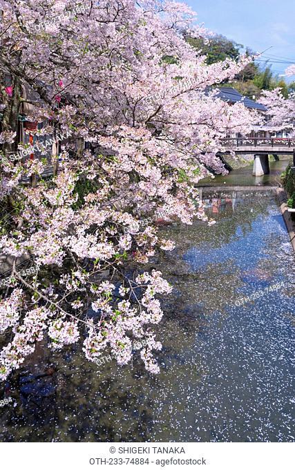 Cherry blossoms (Sakura) on Otani river, Kinosaki Onsens (Hot springs) in spring. Kinosaki Hyogo Prefecture, Kansai, Japan