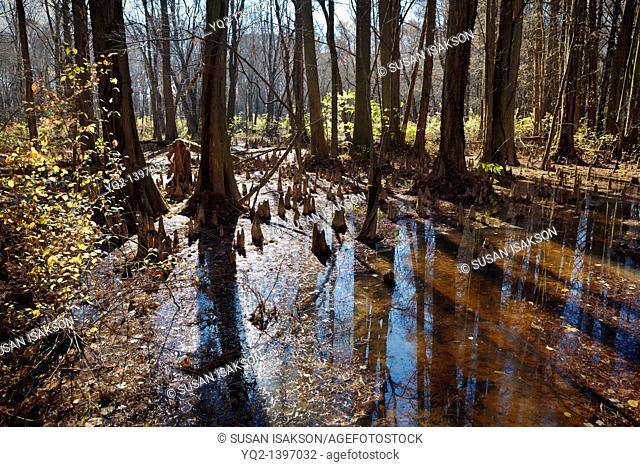 The Battle Creek Cypress Swamp, the northernmost site of naturally occurring bald cypress Taxodium distichum in North America, Prince Frederick, Maryland