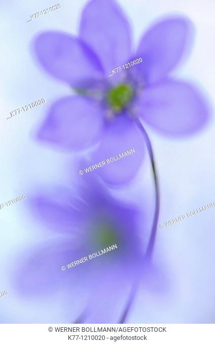 Liverleaf/Liverwort (Hepatica nobilis), Sweden