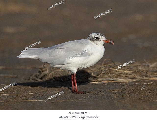 Adult Mediterranean Gull (Ichthyaetus melanocephalus) in the Ebro delta in Spain. Moulting to winter plumage