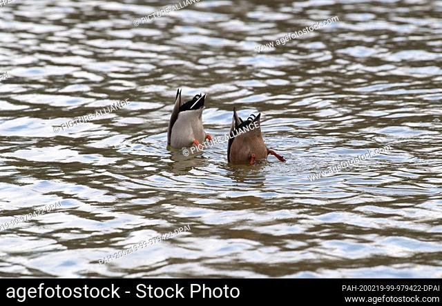 19 February 2020, Baden-Wuerttemberg, Stuttgart: Two ducks dive in the Eckensee. Photo: Marijan Murat/dpa. - Stuttgart/Baden-Wuerttemberg/Germany