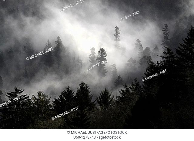 Morning fog enshrouds a pine tree forest along the Pacific Ocean in Oregon, United States