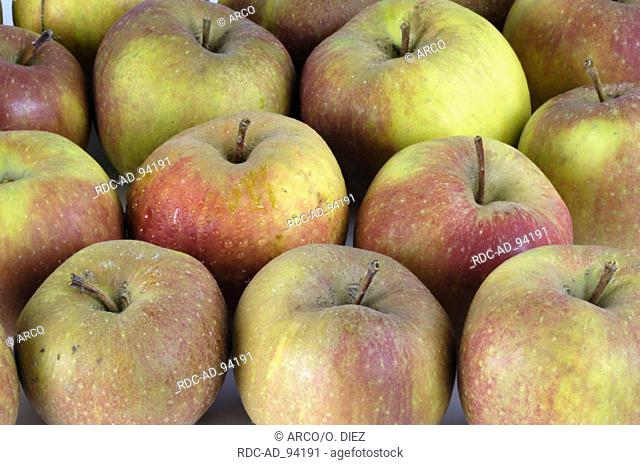 Apples 'Boskop' Malus domesticus indoor