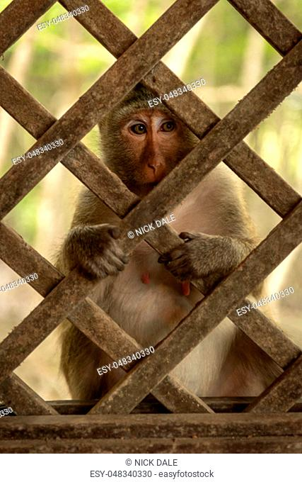 Long-tailed macaque sits gripping wooden trellis window