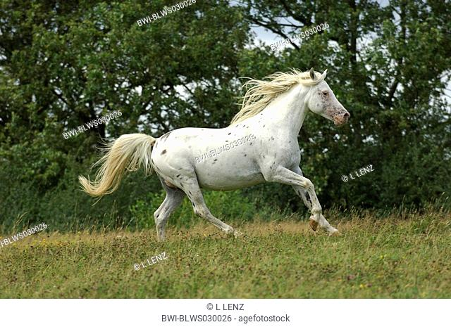domestic horse Equus przewalskii f. caballus, appaloosa horse mixed with english thoroughbred, stallion gallopping on a meadow, Ireland