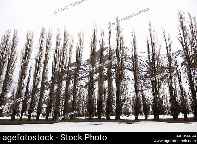 Row of poplar trees in Cajon del Maipo. Chile