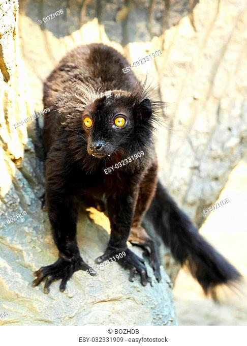 Portrait of Eulemur macaco, Black lemur close up