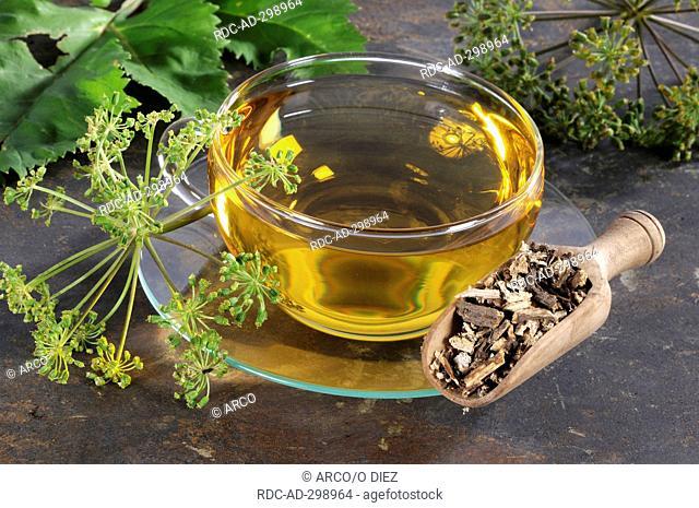 Garden Angelica, cup of Angelica root tea / Angelica archangelica / Wild Parsnip