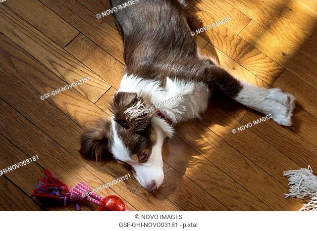Toy Australian Shepherd with Toy on Wood Floor