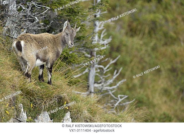 Alpine ibex / Steinbock / Alpensteinbock (Capra ibex) standing in natural surrounding of high mountains range.
