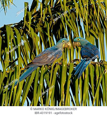 Hyacinth Macaw (Anodorhynchus hyacinthinus), pair, Pantanal, Mato Grosso, Brazil