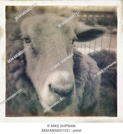 Close up of face of sheep in pen