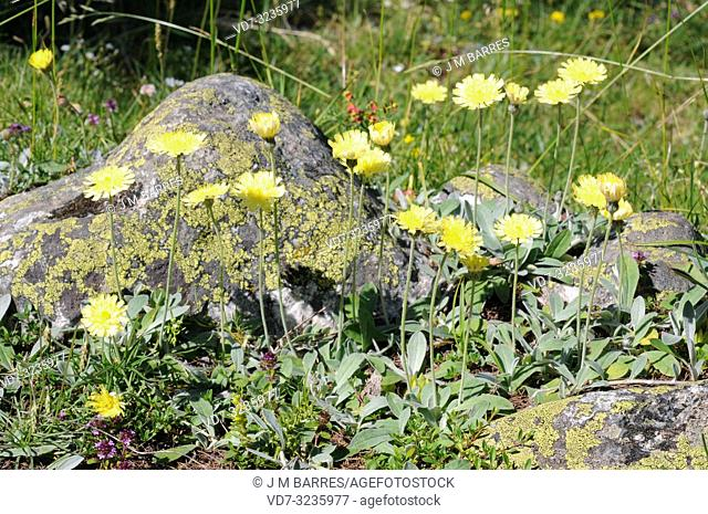 Mouse-ear hawkweed (Hieracium pilosella or Pilosella officinarum) is a perennial medicinal herb native to Europe and north Asia