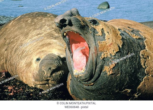 Southern Elephant Seal (Mirounga leonina) belching. Antarctica