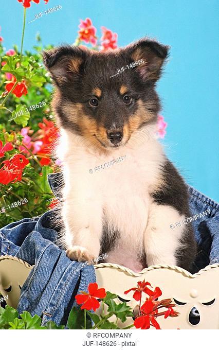 Sheltie puppy - sitting in bucket