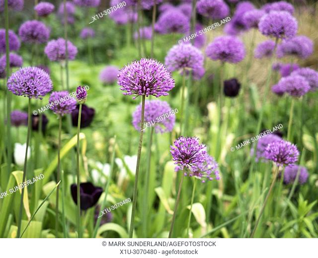 Alliums in flower at the Peace Gardens in Sheffield city centre South Yorkshire England
