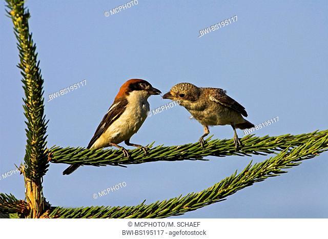 Red-backed shrike x Wood-chat shrike (Lanius senator x Lanius collurio), female feeding juvenile, which is a hybrid with red-backed shrike (Lanius collurio)