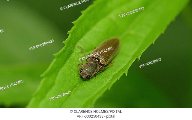 A Click Beetle (Agriotes oblongicollis) rests on a plant leaf in spring