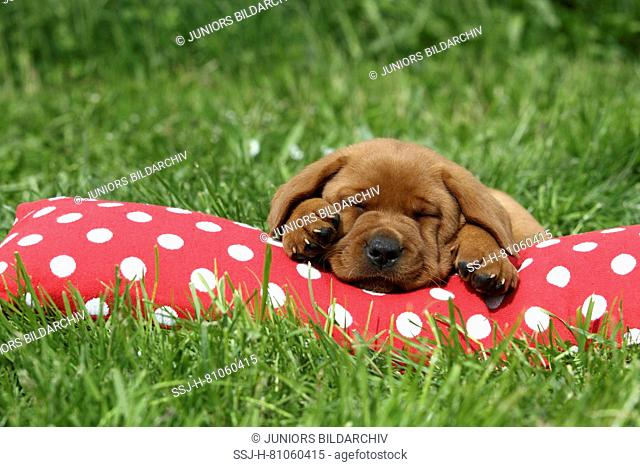 Labrador Retriever. Puppy (6 weeks old) sleeping on a red cushion with white polka dots. Germany