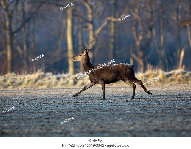 Red Deer (Cervus elaphus). Hind. Sprightly trot across open ground of a frozen arable field in the extreme cold of a hard winter